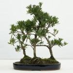 Podocarpus